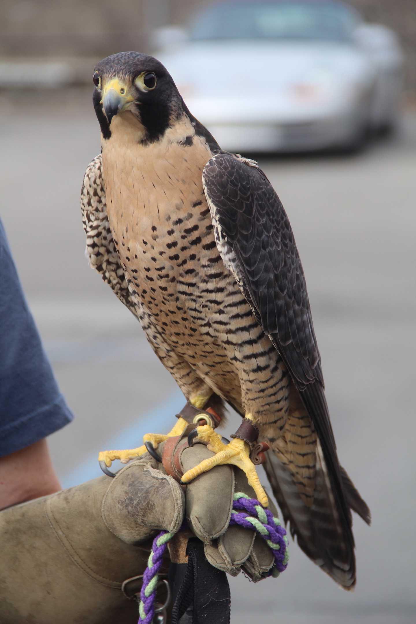 Goose the Falcon perches outside